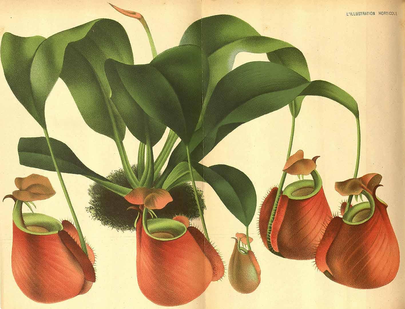 1 Nepenthes bicalcarata Hook.f. / L' Illustration horticole, vol. 28: t. 408 (1871)