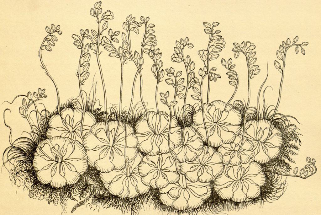 Drosera burmanni Vahl. Wight, R., Icones Plantarum Indiae Orientalis, vol. 3: t. 944 (1846). Drawing by Rungia. Source Plantillustrations.org