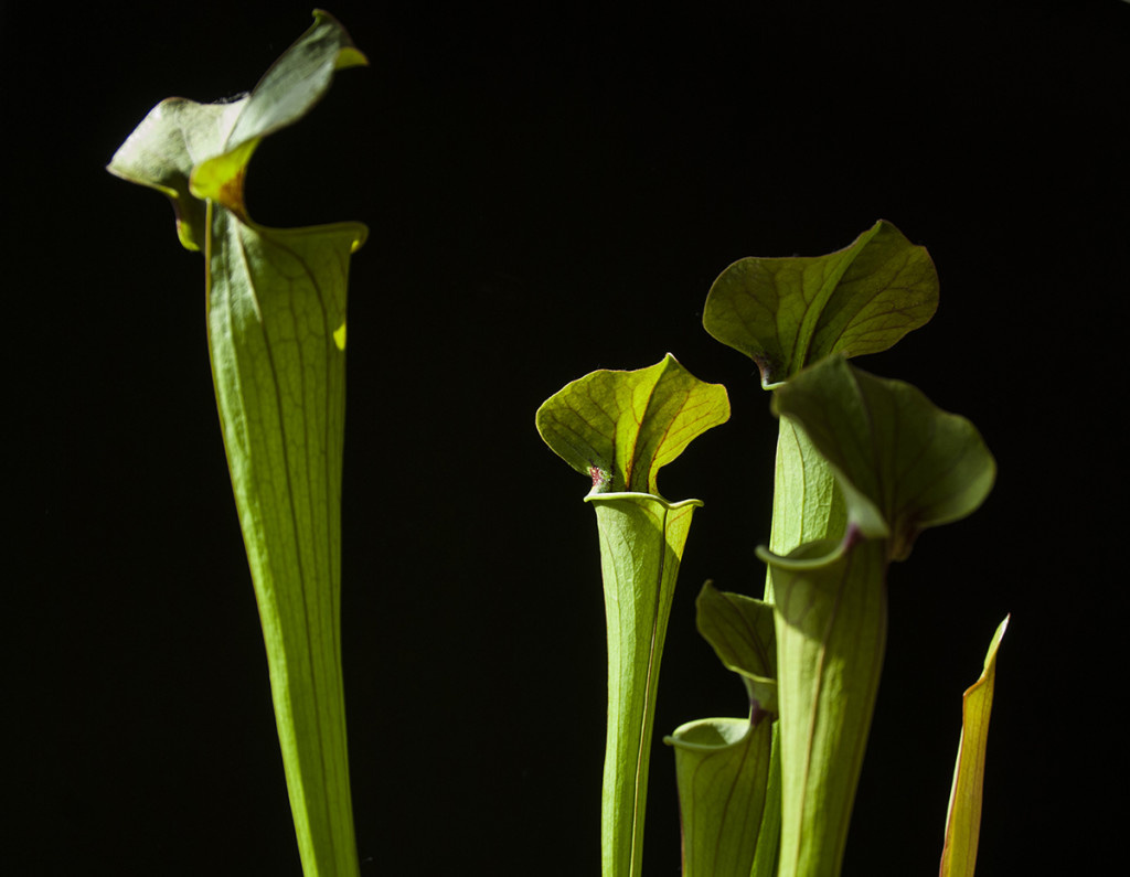 Sarracenia 'Tygo', a hybrid containing S. flava. Photo Jonathan Gobbi.