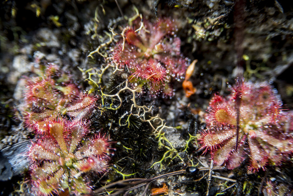 Drosera spatulata in habitat, Blue Mountains National Park, December 2016. Photo Tique Aroustian.
