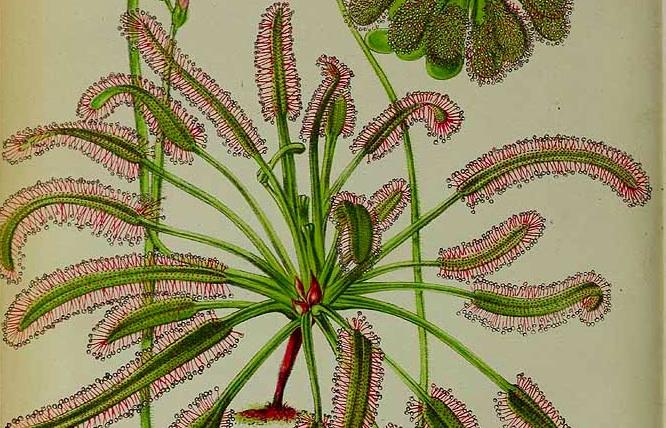 2 Drosera capensis L. / La Belgique horticole, journal des jardins et des vergers, vol. 30: t. 16, fig.     1 (1880)