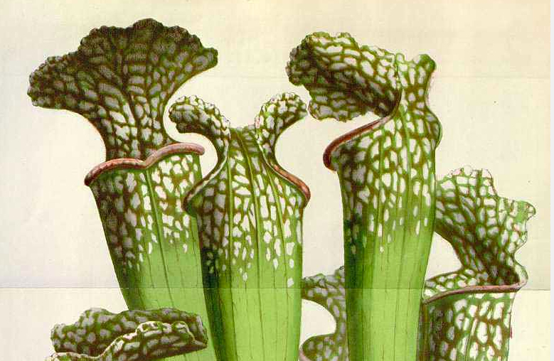 Sarracenia gronovii Alph.Wood [as Sarracenia drummondii H.B. Croom]    Houtte, L. van, Flore des serres et des jardin de l'Europe, vol. 10: p. 239, t. 1071 (1855)