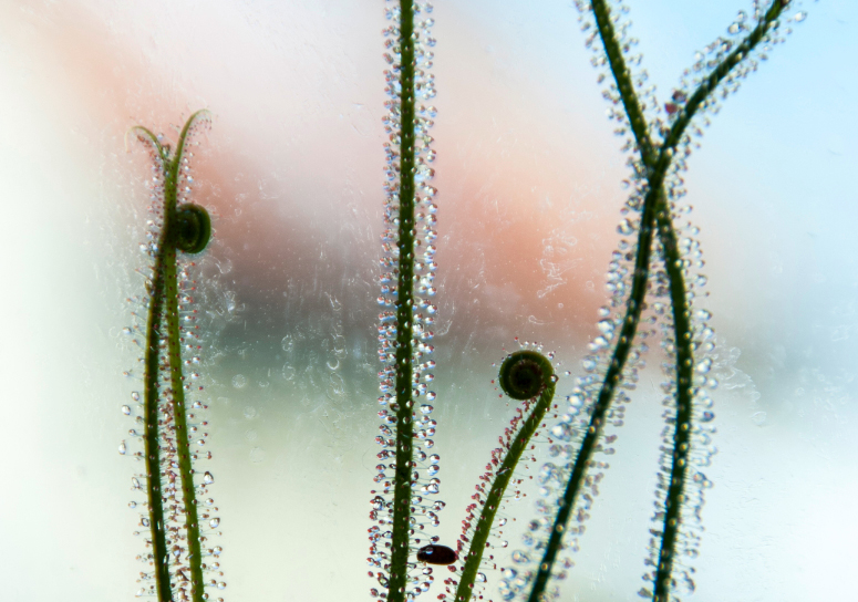 Drosera filiformis. Photo Jonathan Gobbi.