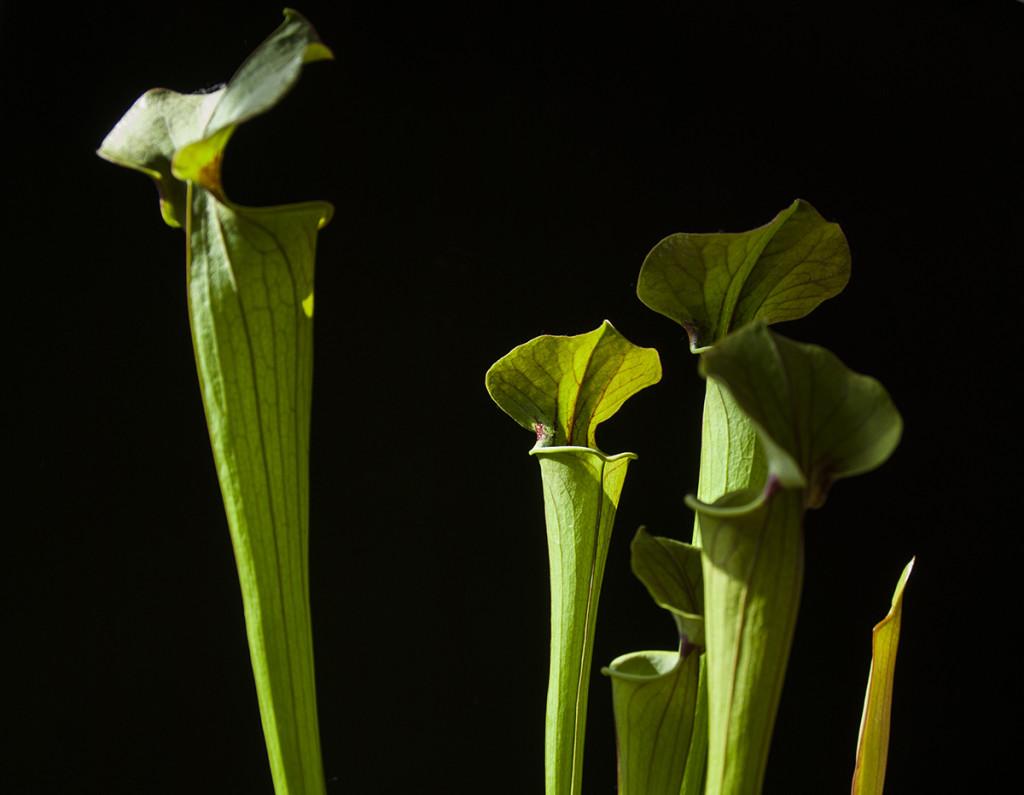 Sarracenia 'Tygo', a hybrid containing S. flava. Photo Jonathan Gobbi.