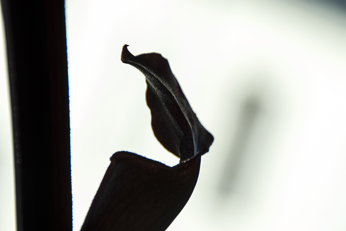S. alata  'Black Tube'. Photo Jonathan Gobbi.