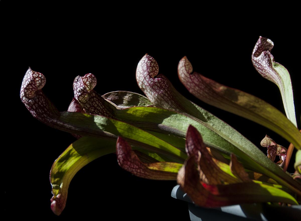 S. psittacina. Photo Jonathan Gobbi.