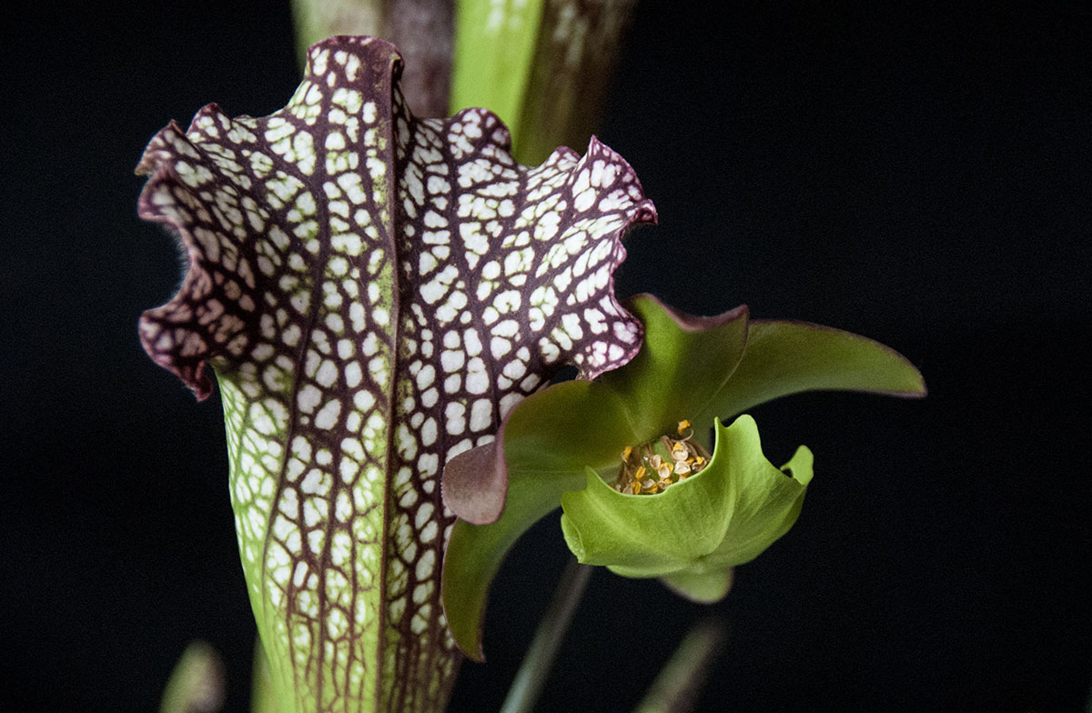 S. leucophylla – the flower has lost its petals. Photo Jonathan Gobbi.