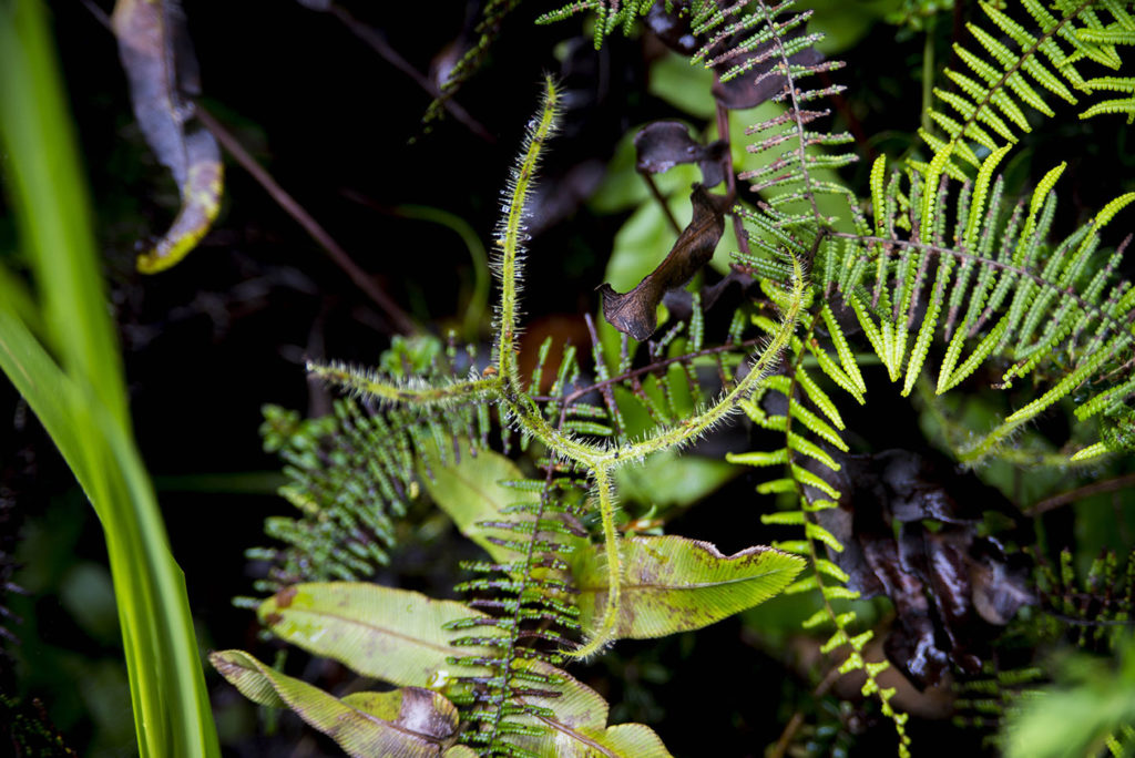 Drosera binata var. dichotoma in habitat, Blue Mountains National Park, December 2016. Photo Jason Renel